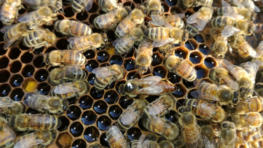Bees and diseases: parasites of bees and brood
